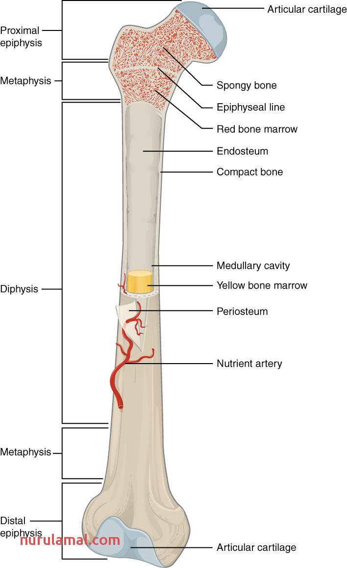 603 Anatomy of Long Bone
