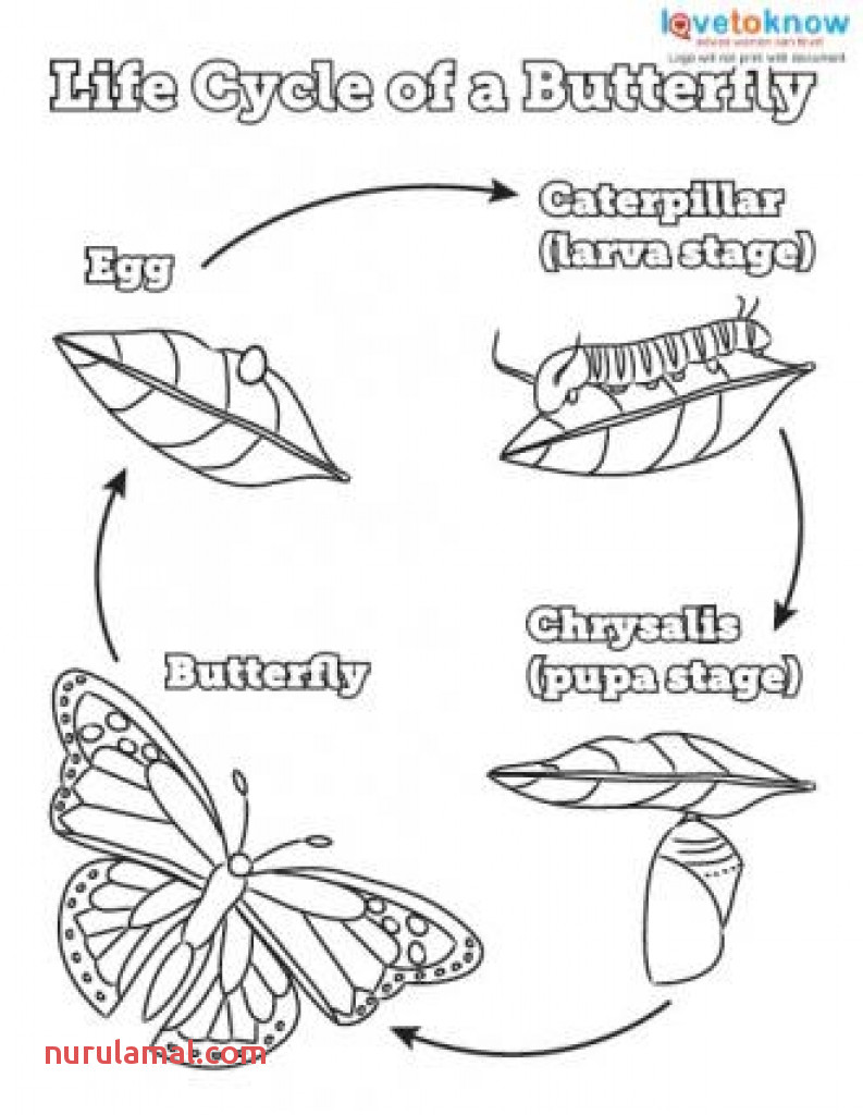 Butterfly Stages Coloring Pages