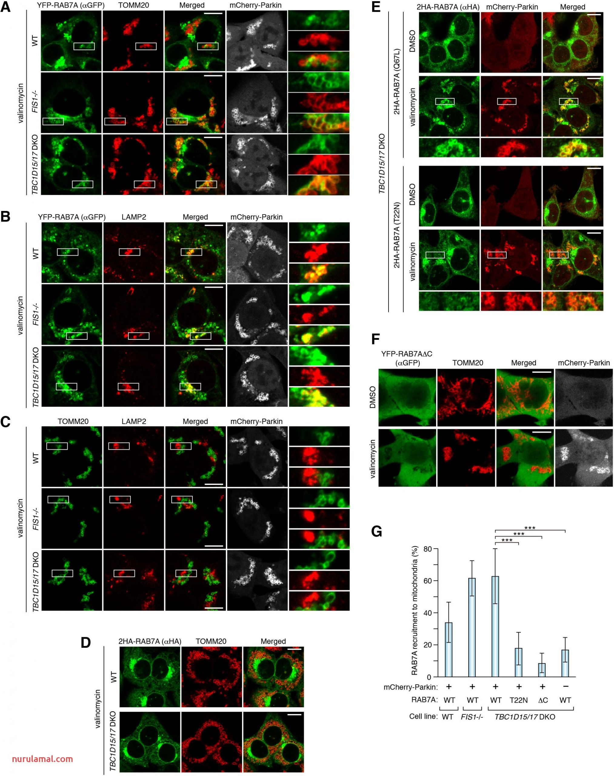 Endosomal Rab Cycles Regulate Parkin Mediated Mitophagy