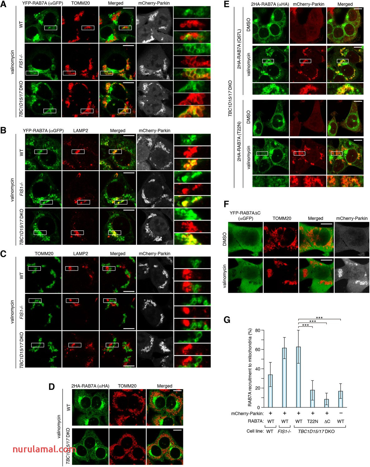 Figures and Data In Endosomal Rab Cycles Regulate Parkin