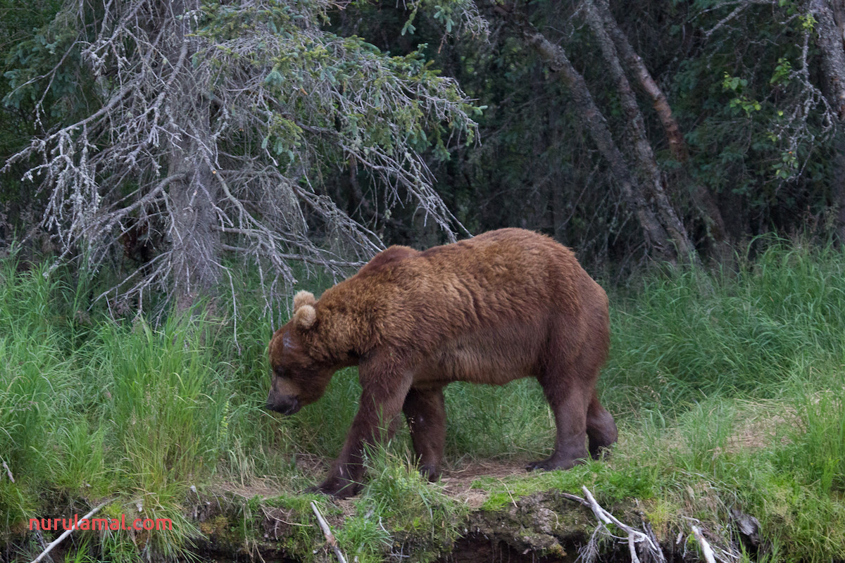 July In Review 32 Chunk as Most Dominant Bear Katmai