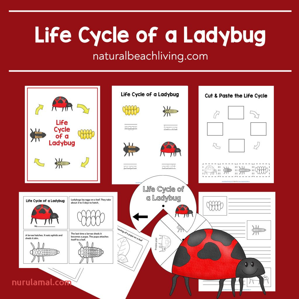 Ladybug Life Cycle Worksheets and Activities Natural Beach
