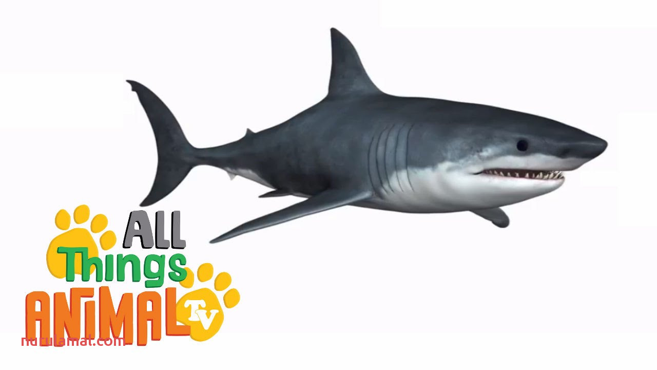 Shark Animals for Kids